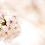 季節外れの桜が咲きました