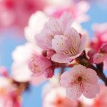 桜・お花見デートとお稲荷さん
